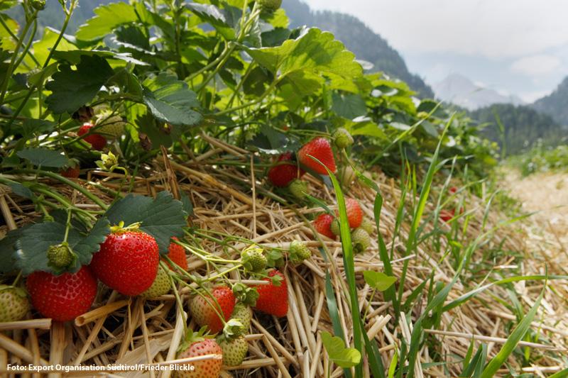 Südtiroler Erdbeerweg im Martelltal