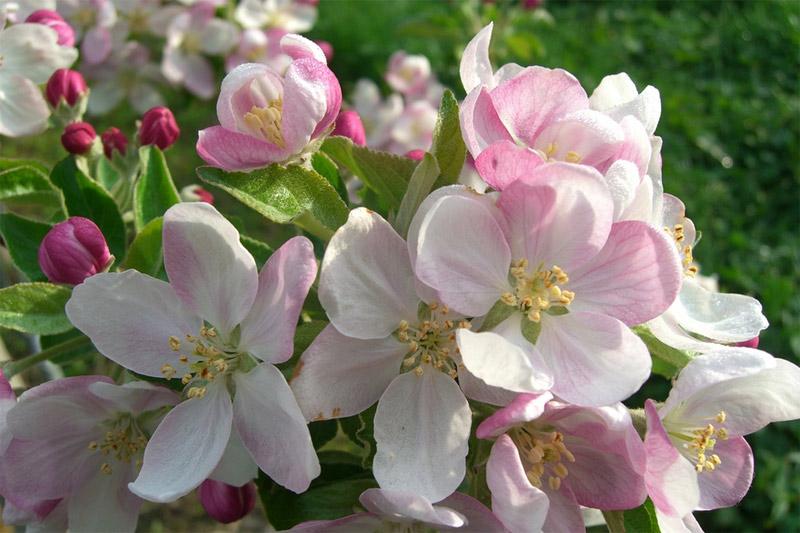 Apfelblüte im Vinschgau