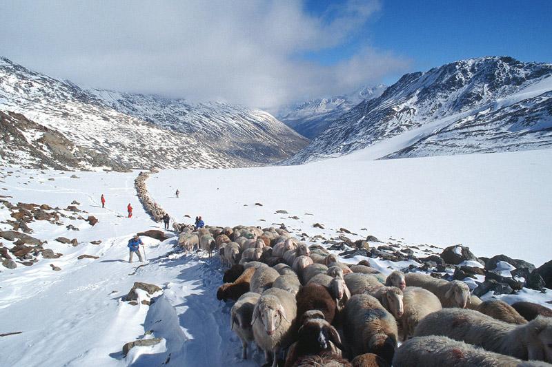 Traditioneller Schafabtrieb im Schnalstal
