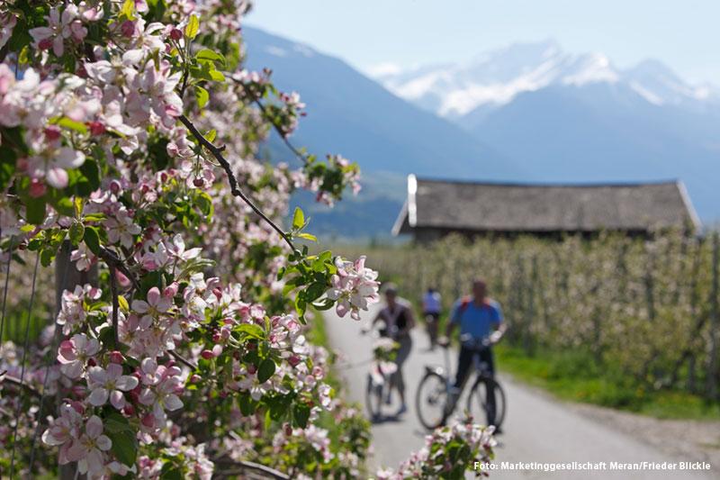 Radfahren durch blühende Apfelfelder
