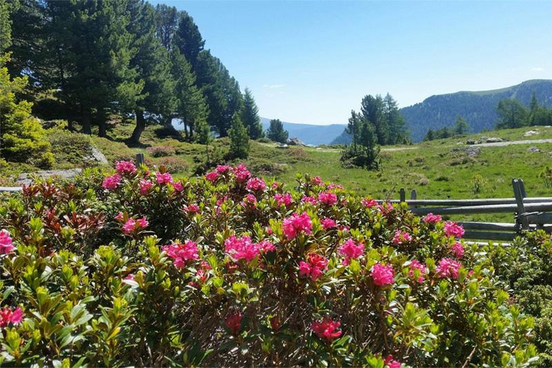 Von mitte Juni bis mitt Juli blüht die Alpenrose - Almrauschblüte in seiner schönen Pracht