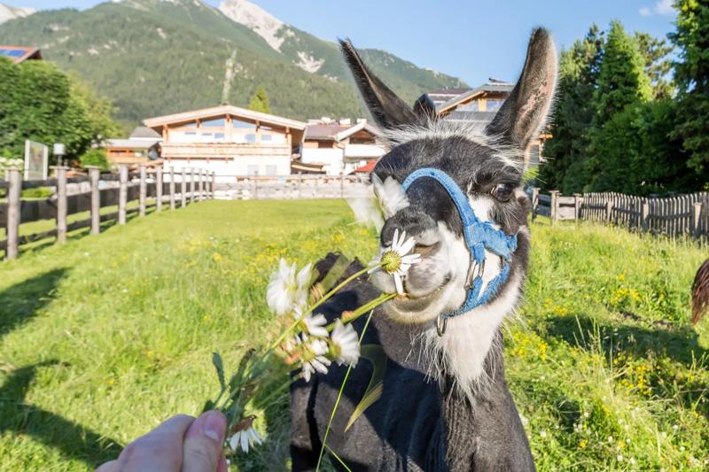 Lamas direkt gegenüber vom Hotel