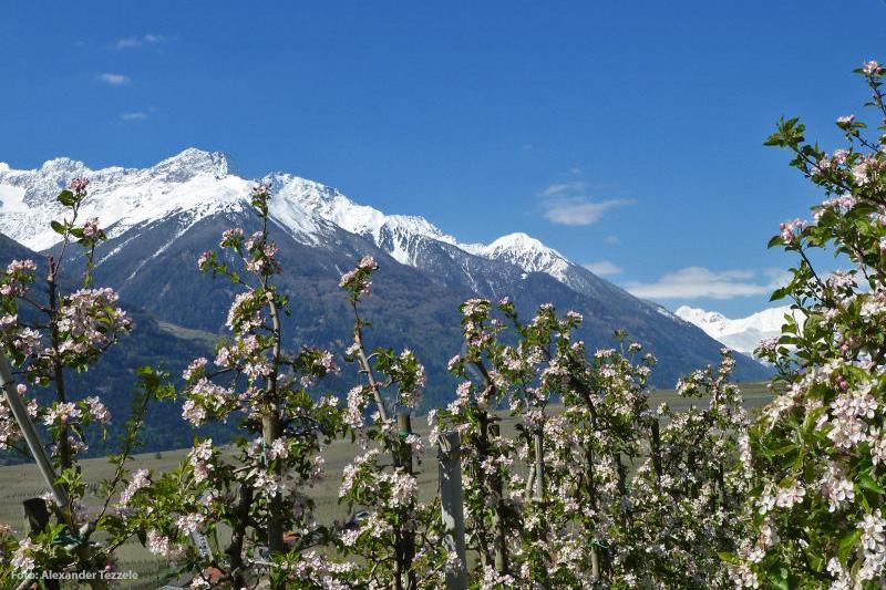 Apfelblüte im Frühling bei Laas