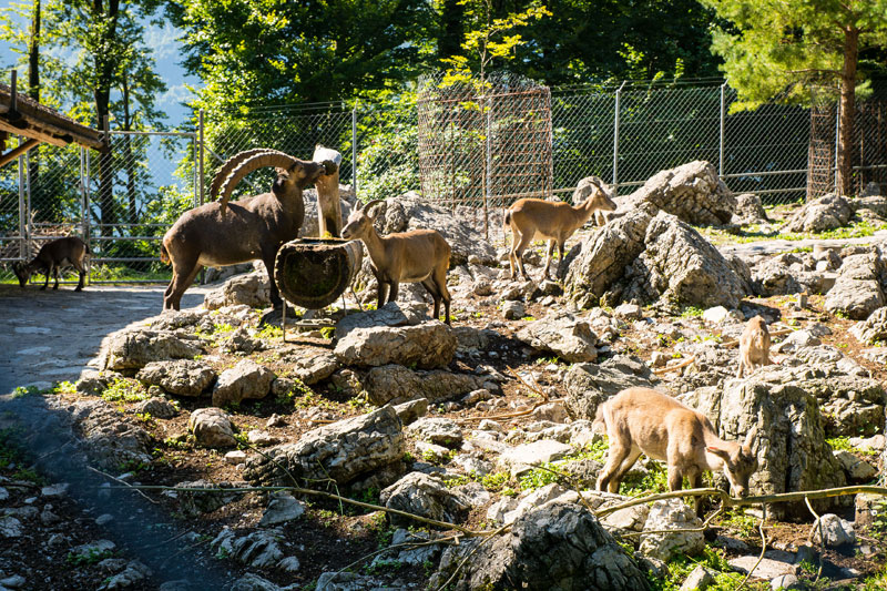 Steinböcke im Wildpark Brienz