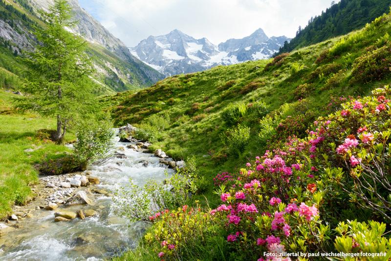 Alpenrosenzeit im Zillertal