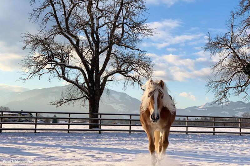 Weltzentrum der Haflinger Pferde im Fohlenhof Ebbs